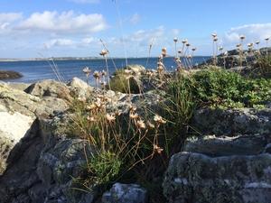 Sea thrift - Isle of Man