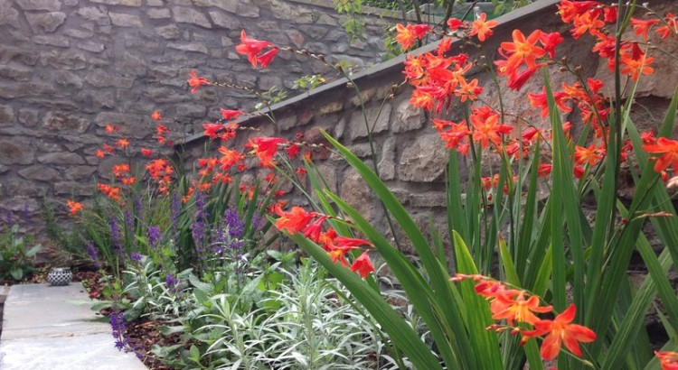 townhouse garden Redland Bristol with Salvia and Crocosmia