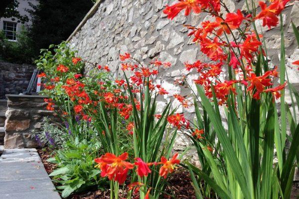 townhouse garden Redland Bristol with Crocosmia