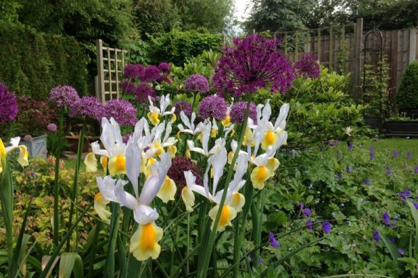 Spring planting Canonbury including alliums and iris