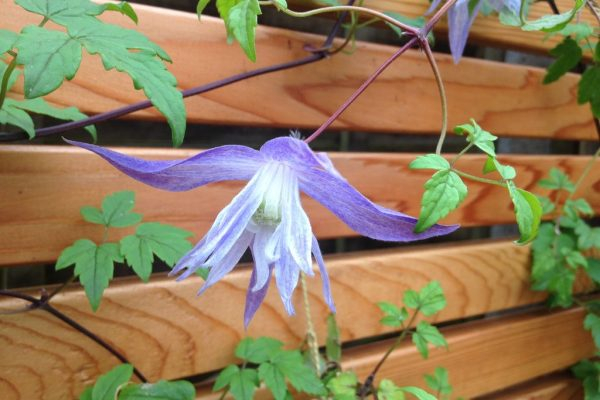 Shirehampton garden cedar fencing and clematis